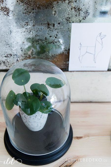 mini-pilea-unter-glasglocke